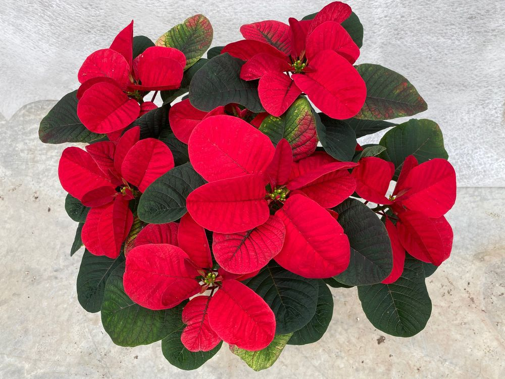 poinsettias-are-essentially-the-most-extensively-grown-plant-on-the-earth