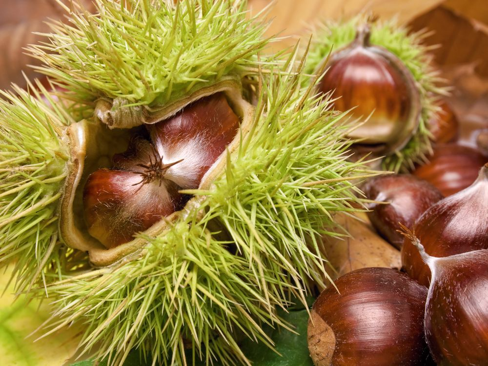 brian-minter-how-to-plant-and-roast-your-chestnuts