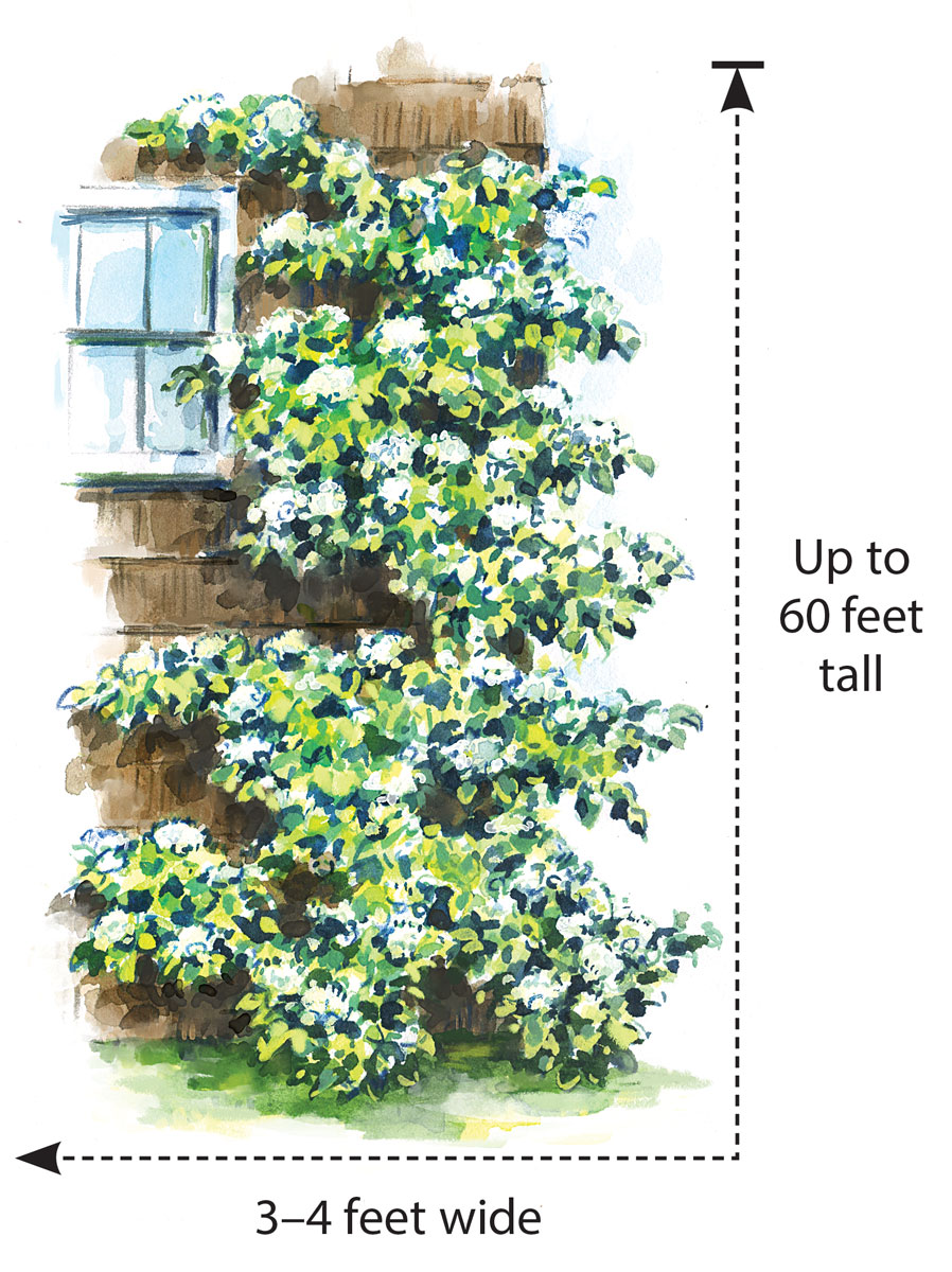 develop-this-hydrangea-for-its-foliage-and-its-capability-to-climb