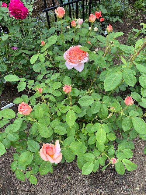 roses-in-lils-garden-finegardening