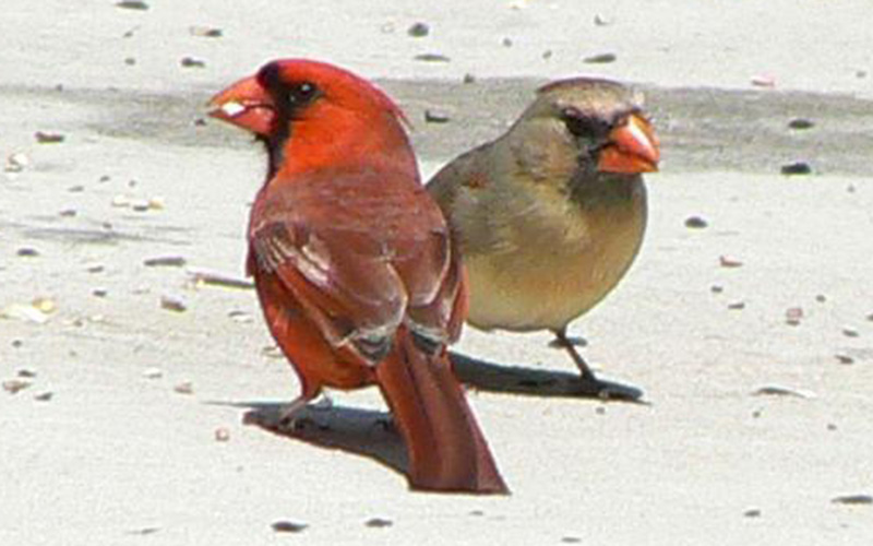 15-hen-feeder-birds-of-the-southeastern-united-states