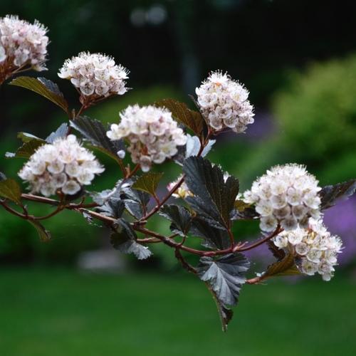 the-best-low-maintenance-shrubs-finegardening