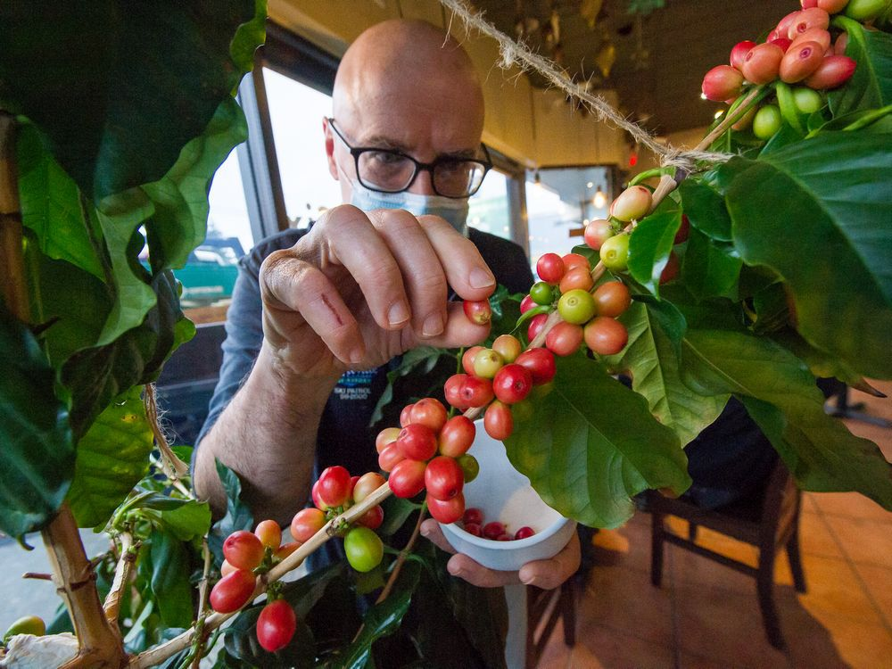 yes-you-can-grow-your-own-coffee-beans-in-vancouver