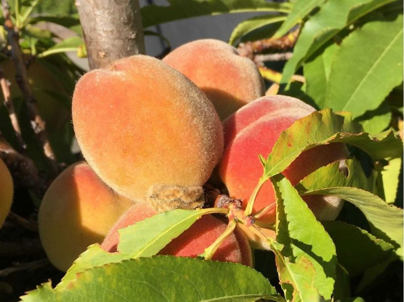 tips-to-easily-grow-your-own-fresh-delicious-peaches-and-nectarines